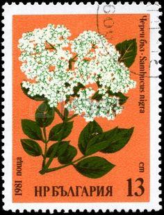"Common Elder, with the description "",Sambucus nigra"", from the series Medicinal herbs,Stamp printed in BULGARIA circa 1981"