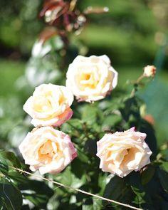 International Rose Test Garden Portland OR - #twanerphotography #oregon #portland #rosegarden #portlandrosegarden #rose #flower #nikon #nikonphotography #nikon_photography #nikond750 #photography #flowerphotography #noedit #nofilter #latergram