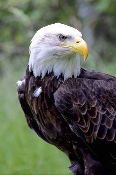 American Bald Eagle by Henrietta Oke Owl Bird, Pet Birds, Beautiful Birds, Animals Beautiful, Bald Eagle Pictures, Our National Bird, Wings Like Eagles, Birds Of Prey, Raptors
