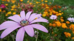 osteospermum by noloran, via Flickr