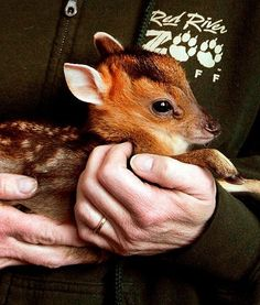 At the Red River Zoo in North Dakota, a tiny muntjac fawn has been born. The little one currently weighs only one pound and is as cute as the dickens.