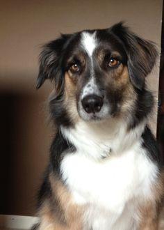 Rough Collie Australian Shepherd Mix Dingo1 dingo ( collie ...