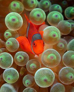Deze vis (lijkt op nemo) zwemt tussen de kwallen door. Oei oei als dat maar goed gaat!!! :-)