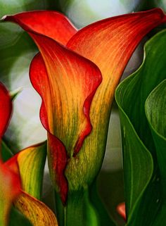 Calla lilies. So beautiful...almost like a painting, but it's not. Photo by Lea Foster.