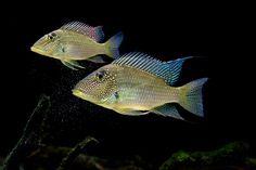 Whitespot Eartheater (Satanoperc a Leucosticta) Colorful Fish, Tropical Fish, Freshwater Aquarium, Aquarium Fish, South American Cichlids, Cichlid Fish, New Tank, Water Life, Angel Fish