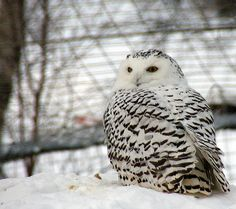 A snowy owl on a snowy day.