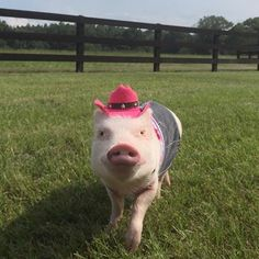Oink Ladies! Anyone interested in a #GirlsNightOut with me?I think Pop might have another date planned. #LadiesPig #CountryGirlShakeIt #SaturdayNight #HogWild #cowgirl #denim #PrissyAndPop
