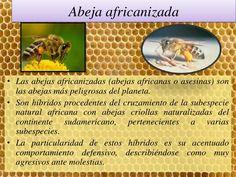 abeja africanizada - Buscar con Google
