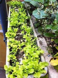 Faire pousser de la salade à couper sur son balcon