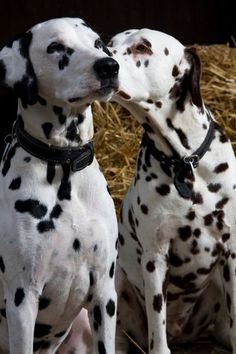 Perdy and Pongo kissing? Animals Kissing, Cute Animals, Mundo Animal, My Animal, Spotty Dog, Puppies And Kitties, Doggies, Dalmatian Dogs, Four Legged