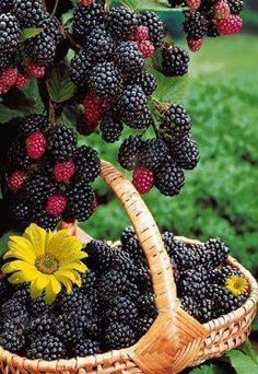 grow blackberries and other soft fruits up trellis amongst flowers. Fruit And Veg, Fruits And Vegetables, Fresh Fruit, Beautiful Fruits, Beautiful Things, Delicious Fruit, Fruit Garden, Garden Plants, Fruit Trees
