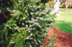 Click to view full-size photo of Serbian Spruce (Picea omorika) at Connon Nurseries CBV