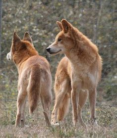 Dingo Sanctuary Open Days 2018 - July to September Animals Beautiful, Cute Animals, Animals Dog, Bear Animal, Dog Kennel Designs, Dog Playground, Puppy Care, Pet Care, African Wild Dog