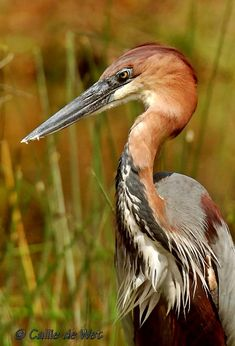 Goliath Heron (photography by Callie de Wer) - Goliath Heron is often seen singly or in isolated pairs. It is a nocturnal bird, also seen at dusk, feeding in wetlands. Its movements may appear slow & very ponderous.  It is a very shy bird &  is sedentary. Tthis species is monogamous. Their long feathers on crest, neck, breast and back develop before breeding period, which starts with the rainy season.