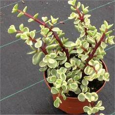 Pianta Grassa Portulacaria Afra, Vaso 10cm