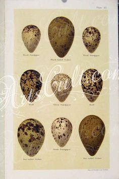 Group of Game Bird Eggs, Antique Egg Print Quail Pen, Quail Coop, Quail Eggs, Raising Quail, Raising Chickens, Button Quail, Backyard Farming, Game Birds, Coops