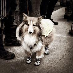 Dogs Wearing Shoes On Pinterest Pomeranian Puppy Dogs