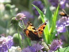 -neuer Gartentraum -  Jetzt kommen erste Schmetterlinge in den Garten. Scabiosenblüten sind besonders beliebt.