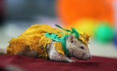 A 2-year-old male rat named Dyatlik wears a costume during a rodent exhibition in Minsk, Belarus.