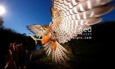 New Zealand Falcon (Falco novaeseelandiae; Falconidae) flying and landing at high speed. NZ Native threatened bird species, New Zealand (NZ) stock photo. Quality New Zealand images by well known photographer Rob Suisted, Nature's Pic Images. New Zealand Image, Flora And Fauna, Birds Of Prey, Bird Species, Nativity, High Speed, Animals, Landing, Magic