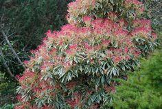 Photo Pieris Flaming Silver Pieris Japonica, Palmiers, Plants, Silver, Gardening, Wall, Gardens, Flower, Shrubs