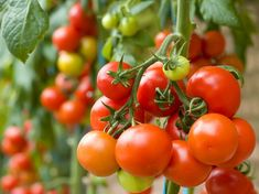 Growing tomato plants from seeds is not that difficult and it is extremely rewarding. Phenomenal Growing Tomatoes from Seeds Ideas. Growing Tomatoes Indoors, Growing Tomatoes From Seed, Growing Tomato Plants, Growing Tomatoes In Containers, Growing Vegetables, Grow Tomatoes, How To Plant Tomatoes, Freezing Tomatoes, Marinated Tomatoes
