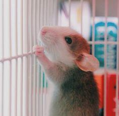 Super cute Dumbo Rat