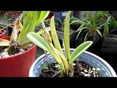¿Qué hacer con las semillas de las orquídeas? || Orquiplanet - YouTube