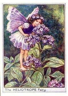 Heliotrope Flower Fairy Vintage Print by Cicely Barker c.1950    This beautiful Heliotrope Flower Fairies Vintage Print was printed in c.1950 and is an original book plate from one of Cicely Mary Barker's early Flower Fairies books. This is an original vintage print & not a modern reproduction or...