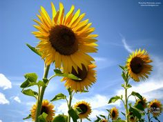 sun flowers should be in my garden.
