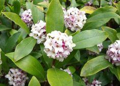 Daphne Odora (Aureomarginata) Evergreen shrub.  Pink flower replaced by red berry. Great smell.