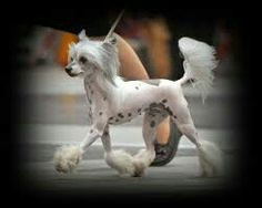 Chinese crested!