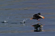 Puffin in a hurry