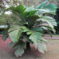 Astrocaryum alatum Unusual Plants, Rare Plants, Exotic Plants, Tropical Plants, Florida Landscaping, Tropical Landscaping, Landscaping Plants, Pool Plants, Outdoor Plants