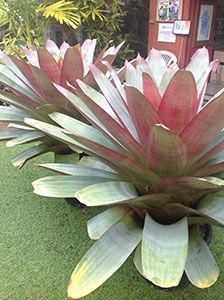 Bromeliad Alcantera imperialis rubra for under window or tucked in with palms Tropical Landscaping, Landscaping Plants, Tropical Garden, Tropical Flowers, Tropical Plants, Air Plants, Garden Plants, House Plants, Herb Garden