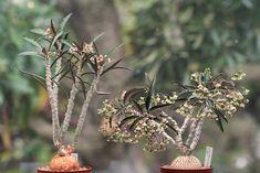 Euphorbia suzannae-marnierae : Bizarre Plants