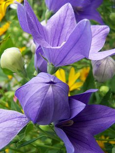 Balloon flowers! These unique plants return every year to delight you with puffy buds before bursting into lovely flowers. (Be sure to dead head to keep them blooming.)