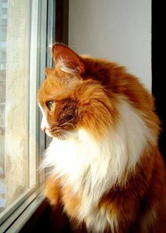 Sandy, a Beautiful Long-haired Ginger & White Cat ....