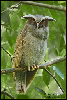 crested owl - I think I found the original for the photoshopped violet owl.  I still think it looks kinda cool in purple