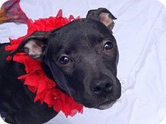 New York, NY - Pit Bull Terrier Mix. Meet JUJUBEE, a puppy for adoption. http://www.adoptapet.com/pet/11500564-new-york-new-york-pit-bull-terrier-mix