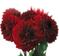 I get these from the local flower farm: it is a beautiful true burgundy...gorgeous deep dark color...very saturated and beautiful!! One of my favorite flowers!!! And will last well.  Mayesh Wholesale Florists - Search our Flower Library