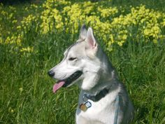 Cody in the park with daisies in background. #dogs #huskies #husky #malamutes (Photo by Wilfred Wong, March 6, 2004, San Francisco, CA)