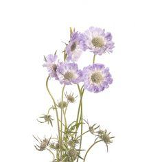 Lavender Scabiosa Flower
