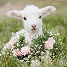 Lamb and roses.
