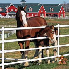 Lovely Clydesdale Mare and Foal at Warm Springs Ranch ; a Budweiser Clydesdale Farm. All The Pretty Horses, Beautiful Horses, Animals Beautiful, Big Horses, Horse Love, Work Horses, Warm Springs Ranch, Clydesdale Horses, Breyer Horses