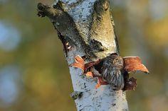 Glaucidium passerinum - Somewhere in The Solska Forest, Eastern Poland, BirdWatching.pl