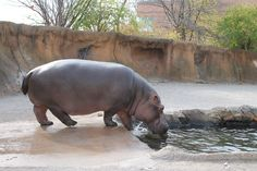 finally caught the hippo in stl out of the water