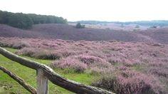 De Veluwe, Arnhem, Nederland, Natuurpark, Netherlands, nature reserve, Lilac, Heide, Heather