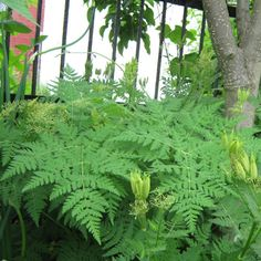 Sweet Cicely Medium-size perennial vegetable with beneficial insect-attracting flowers. Tender green seed pods taste like licorice jellybeans. Great for snacking. Roots traditionally used as sweetener. Leaves used as sweet potherb. Seeds disperse widely, deadhead seeds before ripening.
