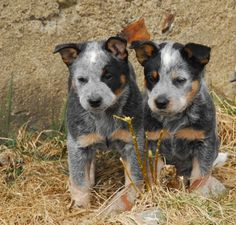 potentialitea:    Australian Cattle Dog pups.    Looks like my ACD interest is catching on!